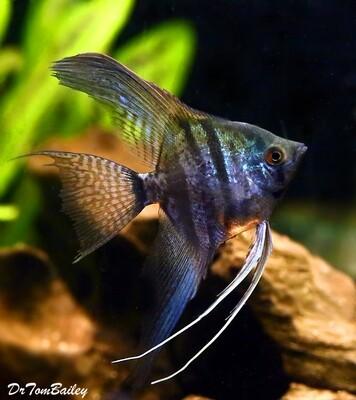 Premium Zebra Lace Angelfish, Size: 2