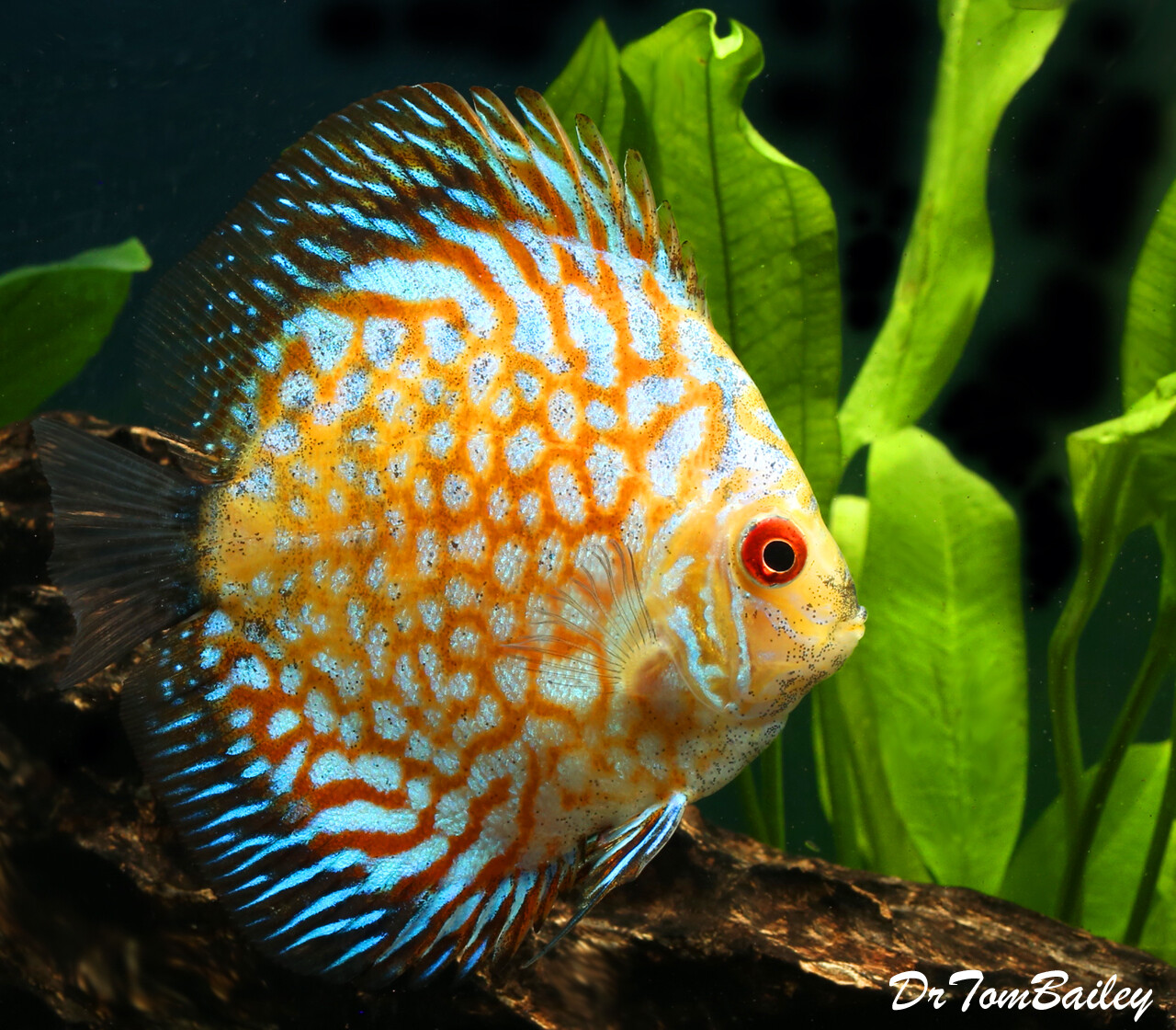 "Premium New Gold Pigeon Discus, Size: 2"" to 2.5"""