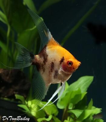 Premium New Rare, Ruby Head Koi Angelfish, Size: 1.5