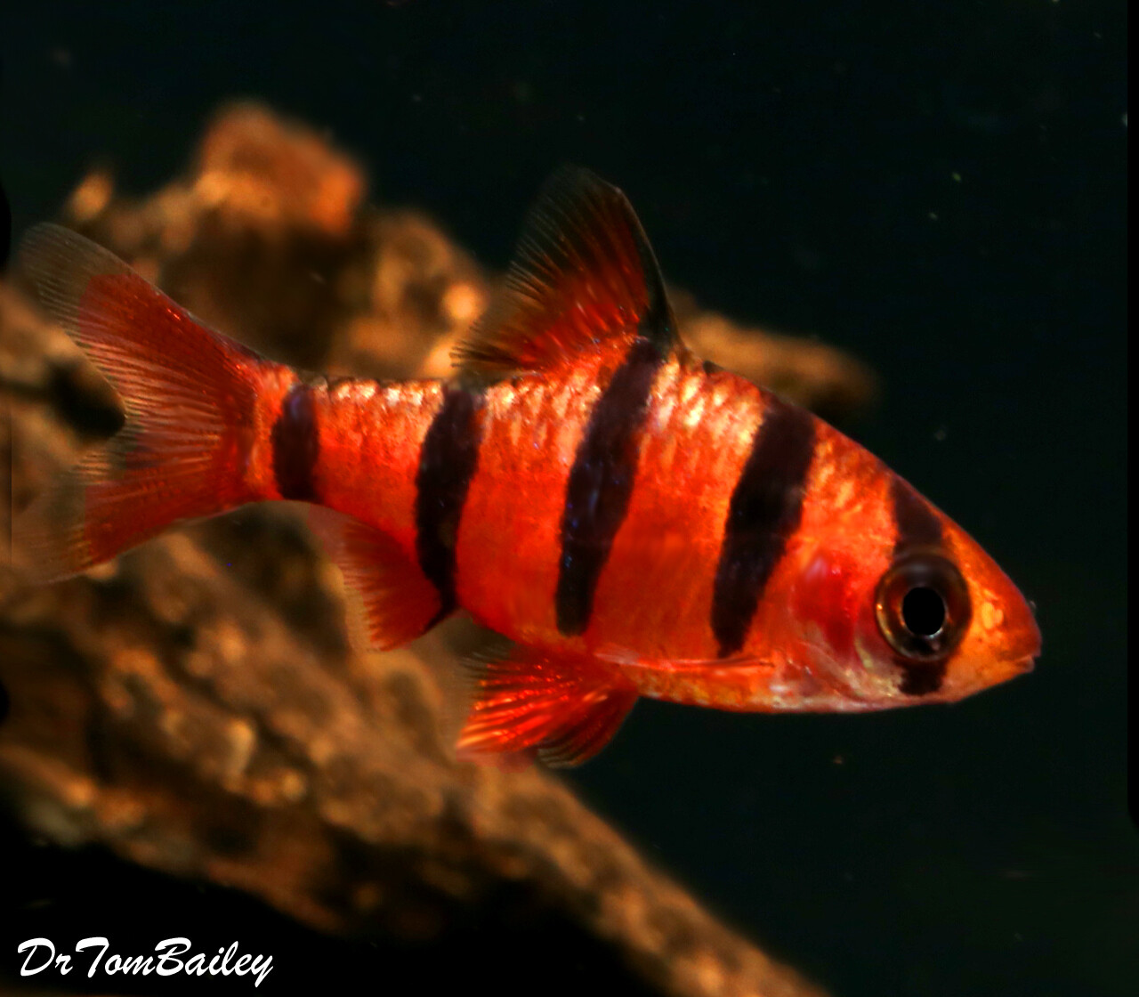 """Premium Rare and New, 5-Banded Barb, Desmopuntius hexazona, Size: 1"""" to 1.2"""""""