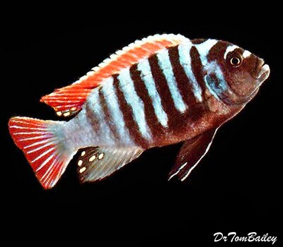 Premium Clown Afra Mbuna Cichlid from Jalo Reef in Lake Malawi, Size: 1.5
