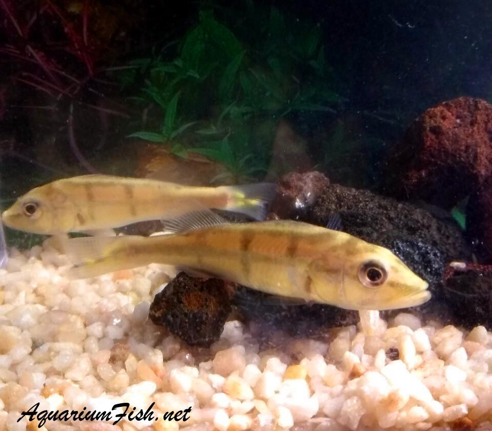 """Premium Rare Xingu Peacock Bass Cichlid, Grows to be very Large, Size: 2.5"""" to 3"""""""