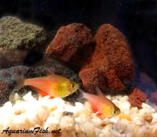 "Premium Rare and New, Orange Tetra von Rio, Size: 1"" to 1.5"""