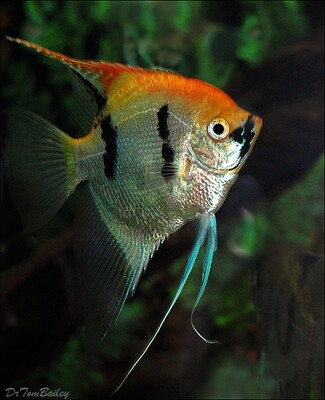 Premium Rare, Gold Marbled Pearlscale Angelfish, Size: 2.5