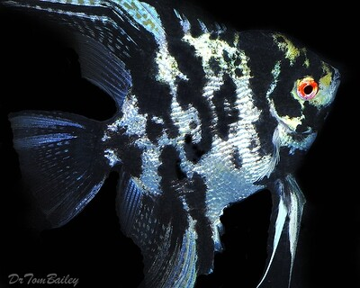 Premium Rare, Marbled Pearlscale Angelfish, Size: 2.5
