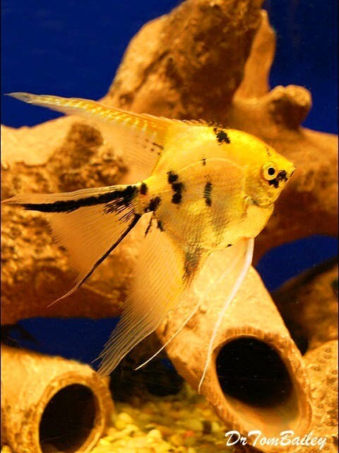 """Premium Gold Marbled Veiltail Angelfish, Size: 1.5"""" to 2"""""""