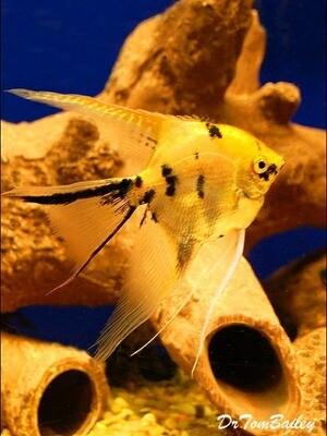 Premium Gold Marbled Veiltail Angelfish, Size: 1.5