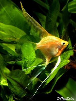 Premium Gold Veiltail Angelfish, Size: 1.5