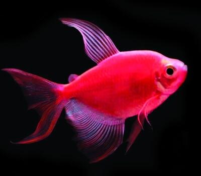 Premium Longfin Starfire Red-Red GloFish Tetra, Size: 1