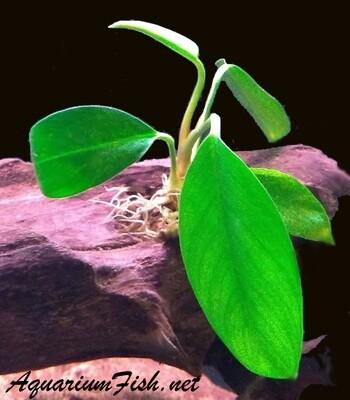 Premium Anubias Congensis, Potted Plant, Size: 3