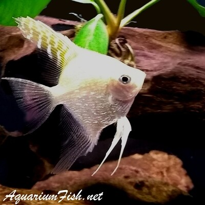 Premium Gold Pearlscale Angelfish, Size: 2.5