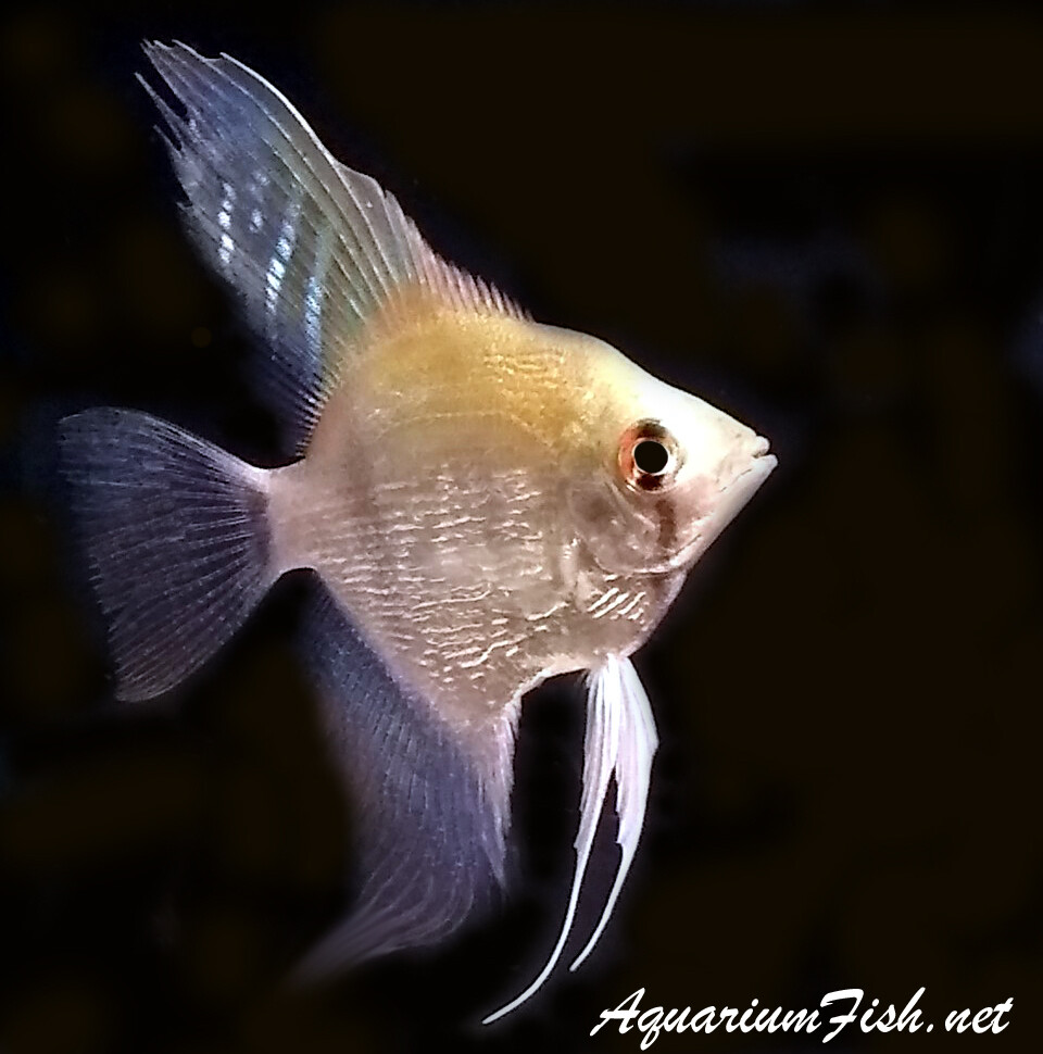 """Premium Silver Pearlscale Angelfish, Size: 2.5"""" to 3"""""""