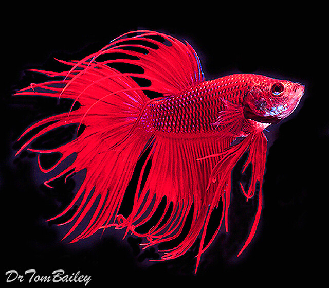 """Premium MALE Assorted Colors Crowntail Betta Fish, Size: 2.5"""" to 3"""""""