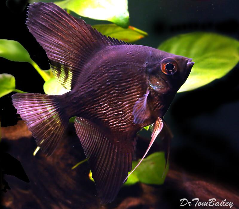 "Premium Black Pearlscale Angelfish, Size: 2.5"" to 3"""