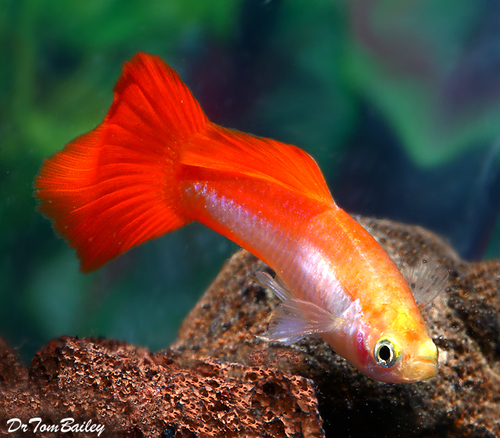 "Premium MALE Coral Platinum Fancy Guppy, Size: 1"" to 1.5"""