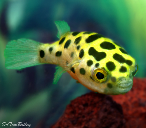 """Premium Green Spotted Pufferfish, Size: 1"""" to 1.2"""""""