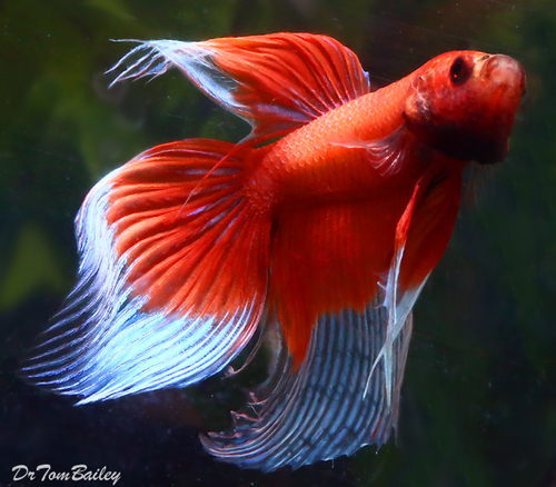 """Premium MALE Butterfly Betta Fish, Size: 2.5"""" to 3"""""""