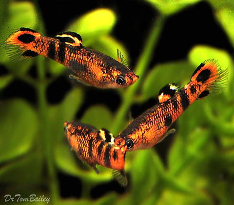 """Premium MALE, New & Rare, Picta Livebearer, Nano Fish, Size: 1"""" to 1.2"""""""