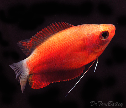 "Premium Sunset Honey Gourami, Size: 1.5"" to 2"""