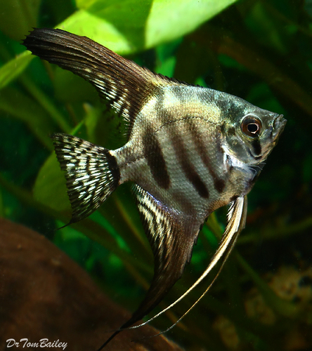 "Premium Zebra Angelfish, Size: 1.5"" to 2"""