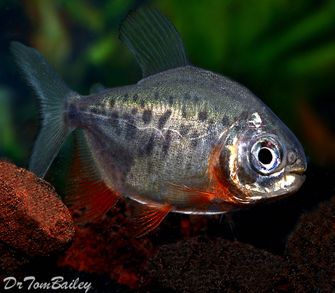 "Premium Red Belly Pacu, grows to be very Large, Size: 1.5"" to 2"""