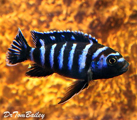 """Premium Chindongo Demasoni, Dwarf Mbuna Cichlid from Lake Malawi, Size: 1.5"""" to 2"""""""