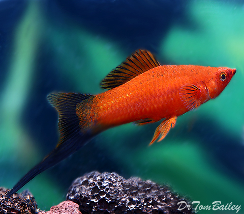 """Premium MALE Red Wag Swordtail, Males Only, Size: 1.5"""" to 2"""""""