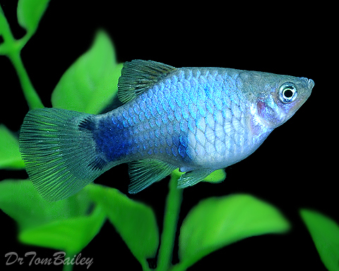 """Premium Blue Mickey Mouse Platy, Size: 1"""" to 1.5"""""""