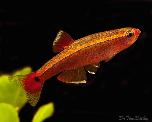 "Premium White Cloud, Nano Fish, Size: 0.5"" to .7"""