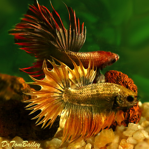 """Premium MALE Rare Assorted Dragonscale Crowntail Betta Fish, Size: 2.5"""" to 3"""""""