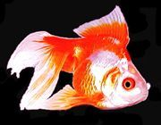 "Premium Red & White Ryukin Goldfish, Size: 3"" to 3.5"""