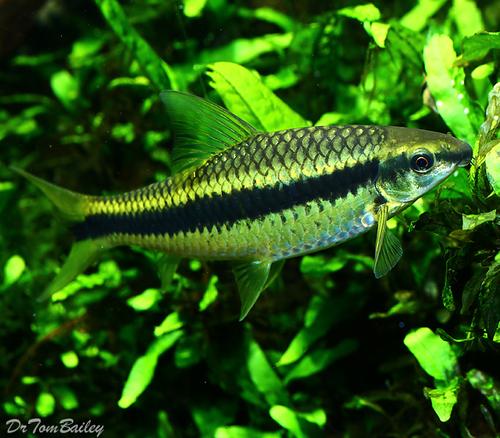 """Premium Siamese Algae Eater, Crossocheilus atrilimes, Size: 1"""" to 1.2"""""""