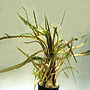 "Premium Cryptocoryne Retrospiralis, Potted Plant, Size: 3"" to 4"""