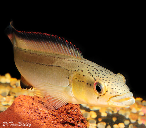 "Premium Unidentified Pike Cichlid, Size: 5"" to 6"""