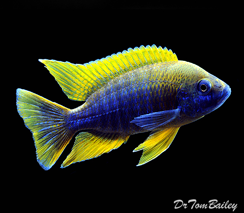 "Premium Lake Malawi Lemon Jake Cichlid, Size: 2"" to 2.5"""