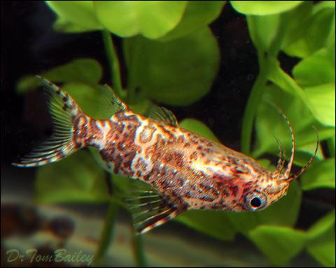 "Premium WILD, Upside Down Catfish, Synodontis Nigriventris, Size: 1.5"" to 2"""