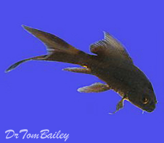 Premium Solid Black Butterfly Koi