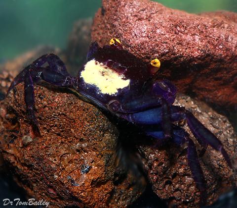 """Premium WILD, Rare Blue Vampire Crab, Size: 1"""" to 1.5"""""""