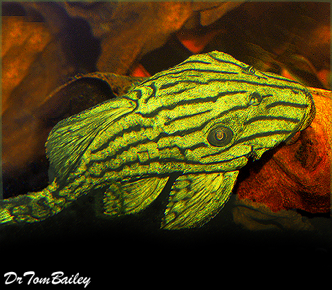 "Premium WILD, Royal Pleco, Size: 4"" to 4.5"""