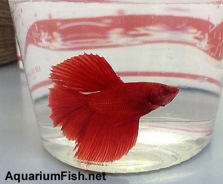 "Premium MALE Red Halfmoon Betta Fish, Size: 2.5"" to 3"""