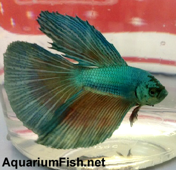 "Premium MALE Green Halfmoon Betta Fish, Size: 2.5"" to 3"""