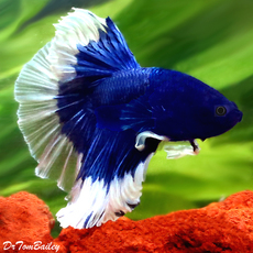 ... Show Butterfly Halfmoon Male Betta 1.5-2