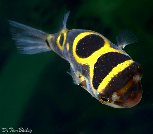 "Premium Freshwater Figure Eight Pufferfish, Size: 1.5"" to 2"""