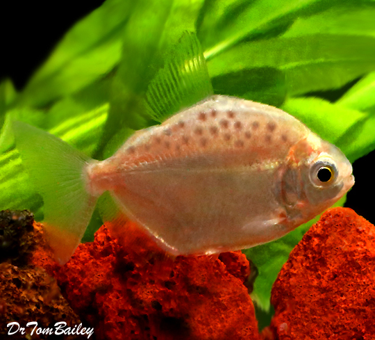 """Premium Spotted Silver Dollar Fish, Size: 1"""" to 1.5"""""""