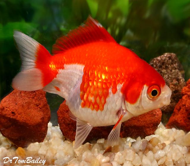 "Premium Red & White Short-Tail Ryukin Goldfish, Size: 2.5"" to 3"""