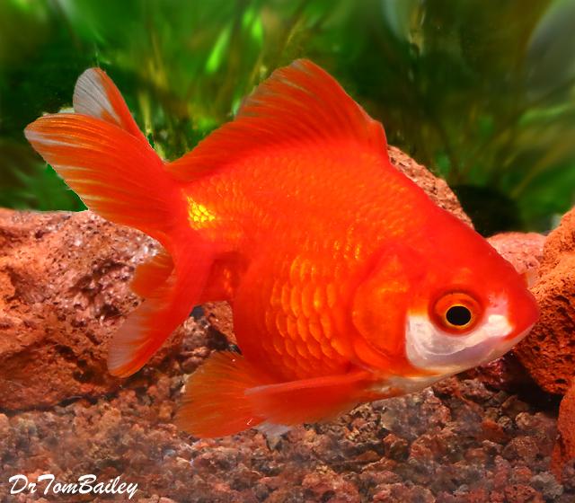"Premium Short-Tail Red Ryukin Goldfish, Size: 2.5"" to 3"""