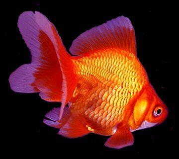 """Premium Red Ryukin Goldfish, Size: 1.5"""" to 2"""""""