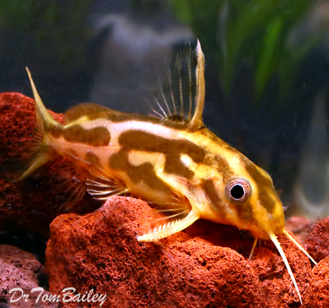 "Premium Rare Synodontis Flavitaeniatus Catfish, Size: 2"" to 2.5"""