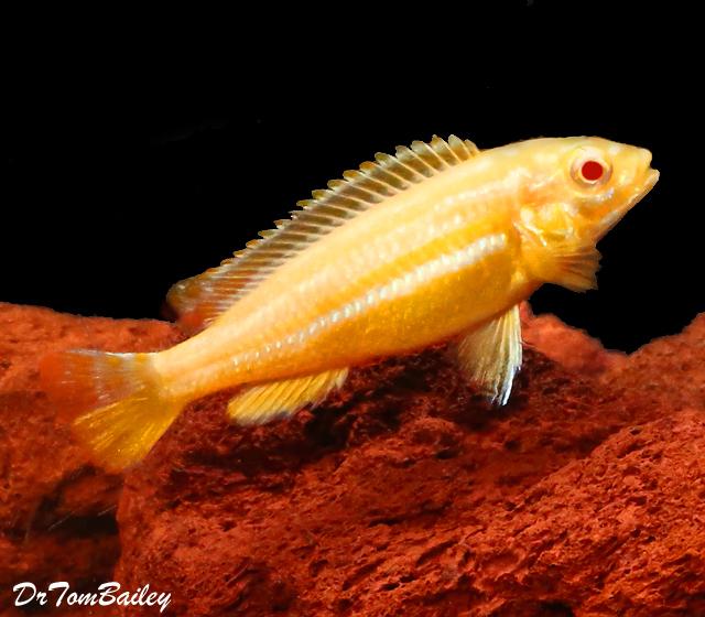 "Premium Rare Lake Malawi Albino Melanochromis Auratus Mbuna Cichlid, Size: 2"" to 2.5"""