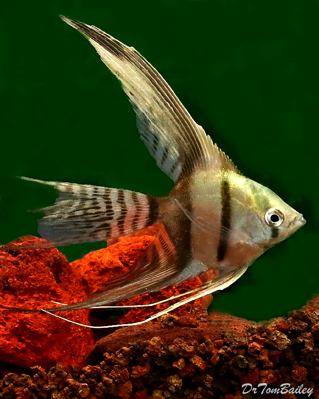 "Premium Half-Black Veiltail Angelfish, Size: 2.5"" to 3"""